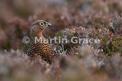 Female Red Grouse (Lagopus lagopus scotica), early January, Lochindorb, Scottish Highlands