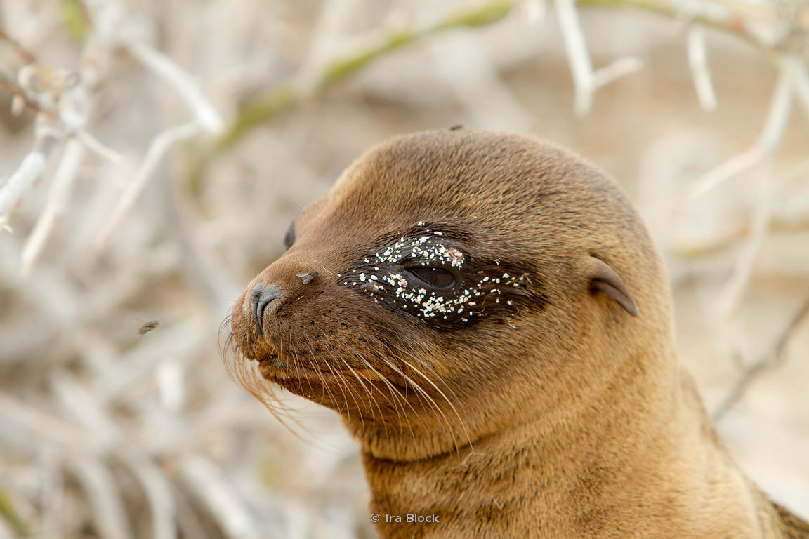 A sea lion found on the sandy shoreline of North Seymour Island.