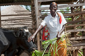 Happy looking Kenyan lady feeding her dairy cow with elephant grass. Kenya.