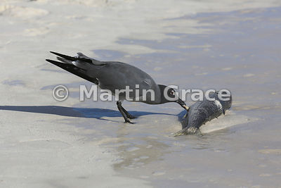 Lava Gull (Larus fuliginosus) scavenging a dead fish on the beach at Cerro Brujo, San Cristobal, Galapagos: Image 1 of a sequence of 5