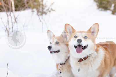 red and white corgi smiling in cold winter snow setting