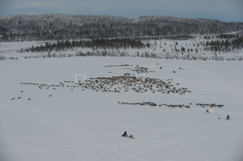 Aerial view of Saami herdsmen herding Reindeer (Rangifer tarandus) Lapland, Sweden, November 2009.  Photograph taken from a motorised paraglider.