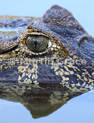 Close-up of eye of a Yacaré (Jacaré) Caiman (Caiman yacare), River Pixaim, North Pantanal, Mato Grosso, Brazil