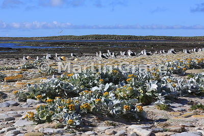Yellow Sea Cabbage (Senecio candidans) with flock of Kelp Gulls (Larus dominicanus) behind, Carcass Island, Falkland Islands
