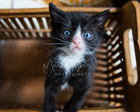 Tuxedo kitten with surprised expression