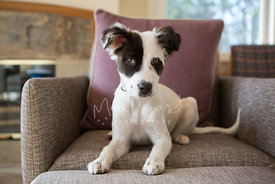 Australian Shepherd Mix Puppy Lying on Chair
