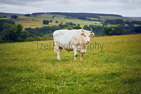 A white bull in the middle of a meadow on an English farm.