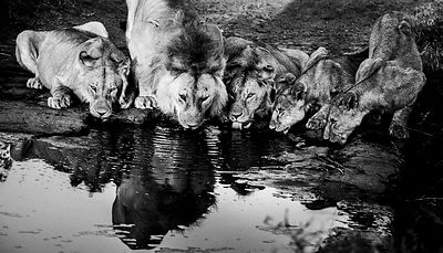 7398-Lions_drinking_in_the_river_Tanzania_2015_Laurent_Baheux