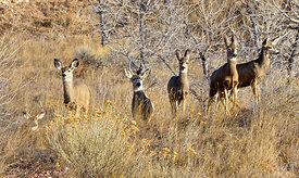 mule, deer, bucks, does