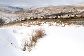 Sheep eating hay after snowstorm, where shepherd has gathered them into a safe place. Cumbria, UK