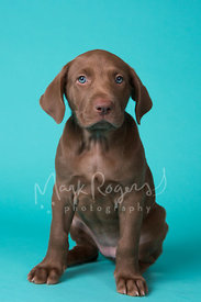 Brown Puppy with Blue Eyes Sitting in Studio