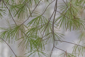 White Pine Needles and Dewdrops during a Heavy Fog in Michigan