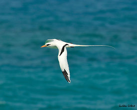White-Tail Tropic Bird - Longtail
