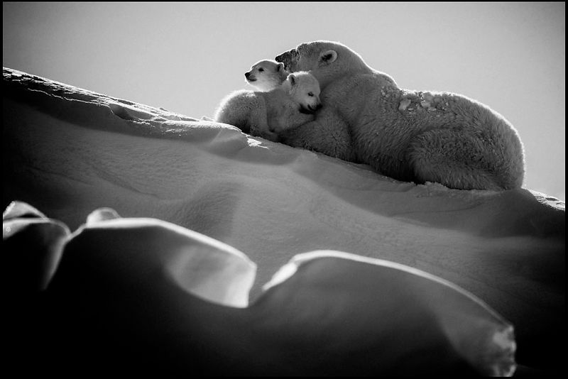 Big hugs between two polar bear cubs and their mother in Baffin Island Canada 2016 © Laurent Baheux