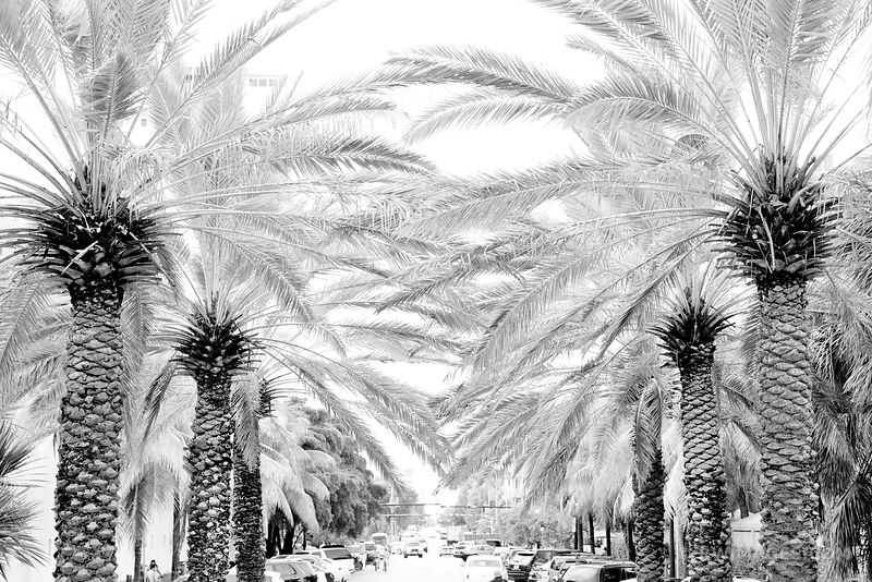 PALM TREE LINED STREET MIAMI BEACH FLORIDA BLACK AND WHITE