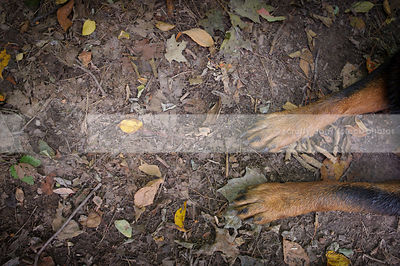 closeup of black and tan dog paws lying on ground with leaves