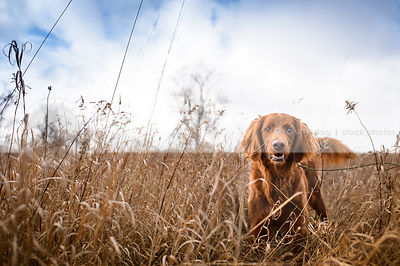 longhaired setter mixed breed dog staring from field of dried grasses