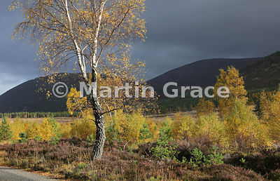 Sunlit autumnal birch trees (Betula sp) in Glen Feshie, with Scots Pines (Pinus sylvestris var scotica) behind, Inverness-shire, Scotland