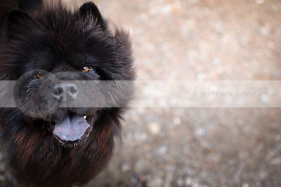 headshot of hairy black chow looking up from natural setting