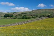 Wildflower meadow starting to bloom in upper Wensleydale, North Yorkshire in early summer.