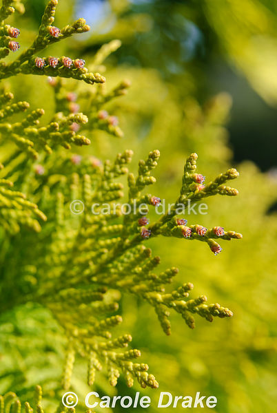 Thuja occidentalis 'Europa Gold'. The Sir Harold Hillier Gardens/Hampshire County Council, Romsey, Hants, UK