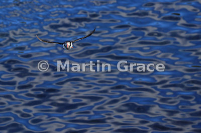 Atlantic or Common Puffin (Fratercula arctica) in flight, returning with fish to its nesting burrow, Hafnarholmi, Borgarfjordur Eystri, Austurland, Iceland