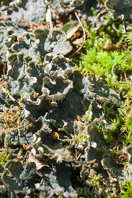 A foliose lichen, peltigera, carpeting the ground of the Quarry garden. Windy Hall, Windermere, Cumbria, UK
