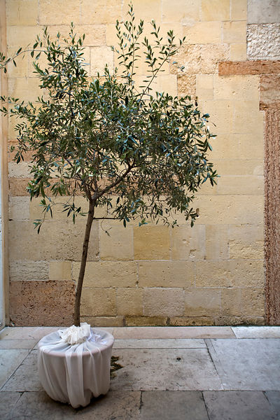 Italy - Verona - A olive tree in the courtyard of the Duomo
