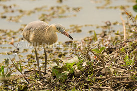 whistling_heron_marsh_hunting-21