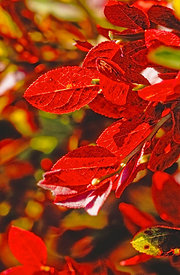 Red leaves of bilbery, Vosges mountains, France
