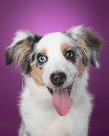Happy Miniature Australian Shepherd Puppy  Against Purple Background