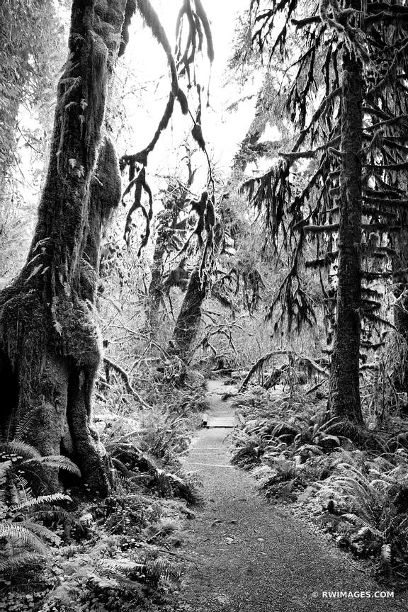 SPRUCE NATURE TRAIL HOH RAINFOREST OLYMPIC NATIONAL PARK BLACK AND WHITE