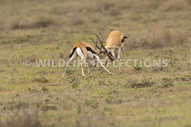 thomsons_gazelle_battle_34