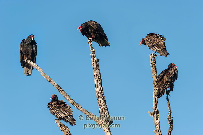 Turkey Vultures, San Jose, CA, USA