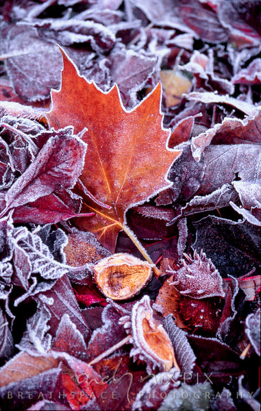 Middlesex, England, UK.  1996.  Autumn leaves and horse chestnut shells edged with ice.  ©Andy Nixon/iAfrika Photos