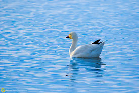 Snow Goose Floating #7