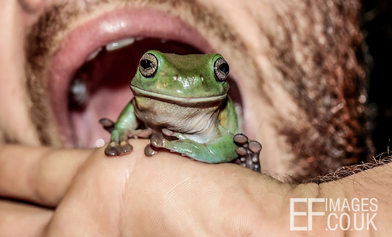How To Eat A Frog, Close Up Mouth And Green Tree Frog