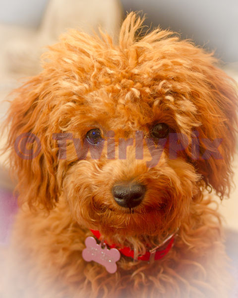 Poodles photos