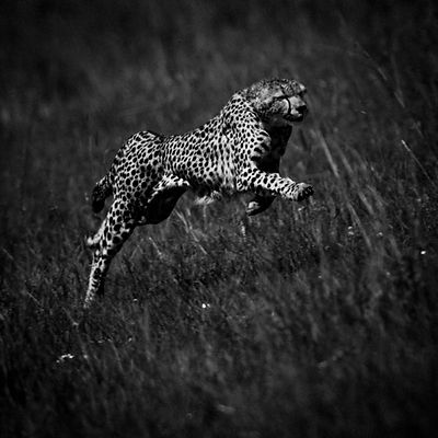 High Speed Cheetah 2, Kenya 2006 © Laurent Baheux