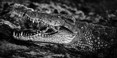 Best profile of the big Crocodile © Laurent Baheux