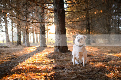 small blond curious dog sitting in backlit pine forest