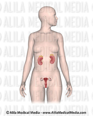 Female organs and the adrenal gland