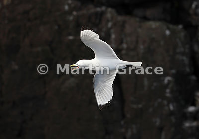 Adult Black-Legged Kittiwake (Rissa tridactyla) calling as it flies past a cliff, Hafnarholmi, Austurland (Eastern Region, East Iceland), Iceland