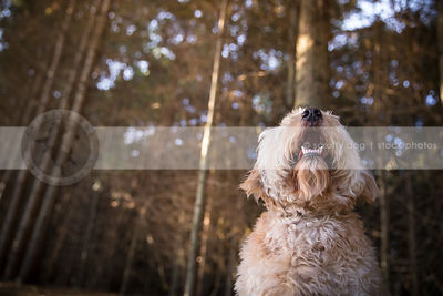 portrait of curly hair cream dog looking skyward in forest