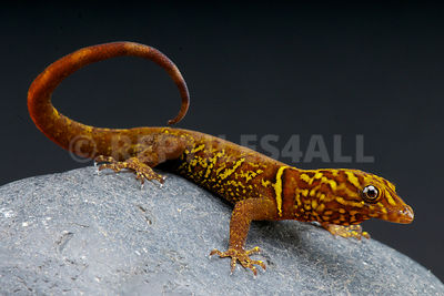 Variegated gecko / Gonatodes cecilae  photos