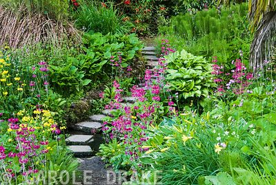 Stepping stones across stream surrounded by moisture loving plants including yellow Primula prolifera, magenta Primula pulverulenta, ferns, hostas and daylilies with azaleas, rhododendrons and palms above. Minterne, Minterne Magna, Dorchester, Dorset, DT2 7AU, UK
