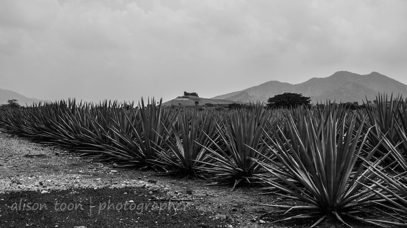 Jose Cuervo agave plantation, Tequila, Jalisco, Mexico, August 2013