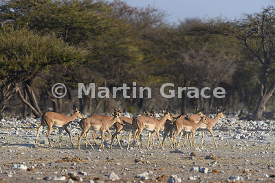 Black-Faced Impala (Aepyceros melampus petersi), Etosha National Park, Namibia