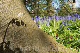 Bluebell and shadow on Beech Tree trunk in early spring at Thursford Wood Norfolk Wildlife Trust Reserve Norfolk