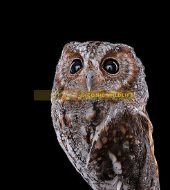 Flammulated Owl